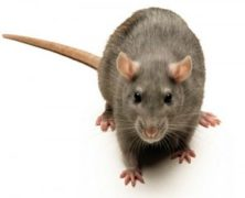 Poll Analysis: Should Rats that Wreck Havoc in a Marketplace be Culled?