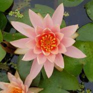 Flower: Dharmagram #283